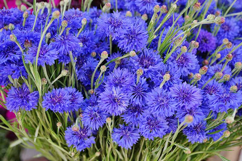 A close up horizontal image of a large bunch of blue cornflowers.