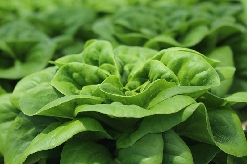 A close up horizontal image of a 'Buttercrunch' lettuce head growing in the garden.
