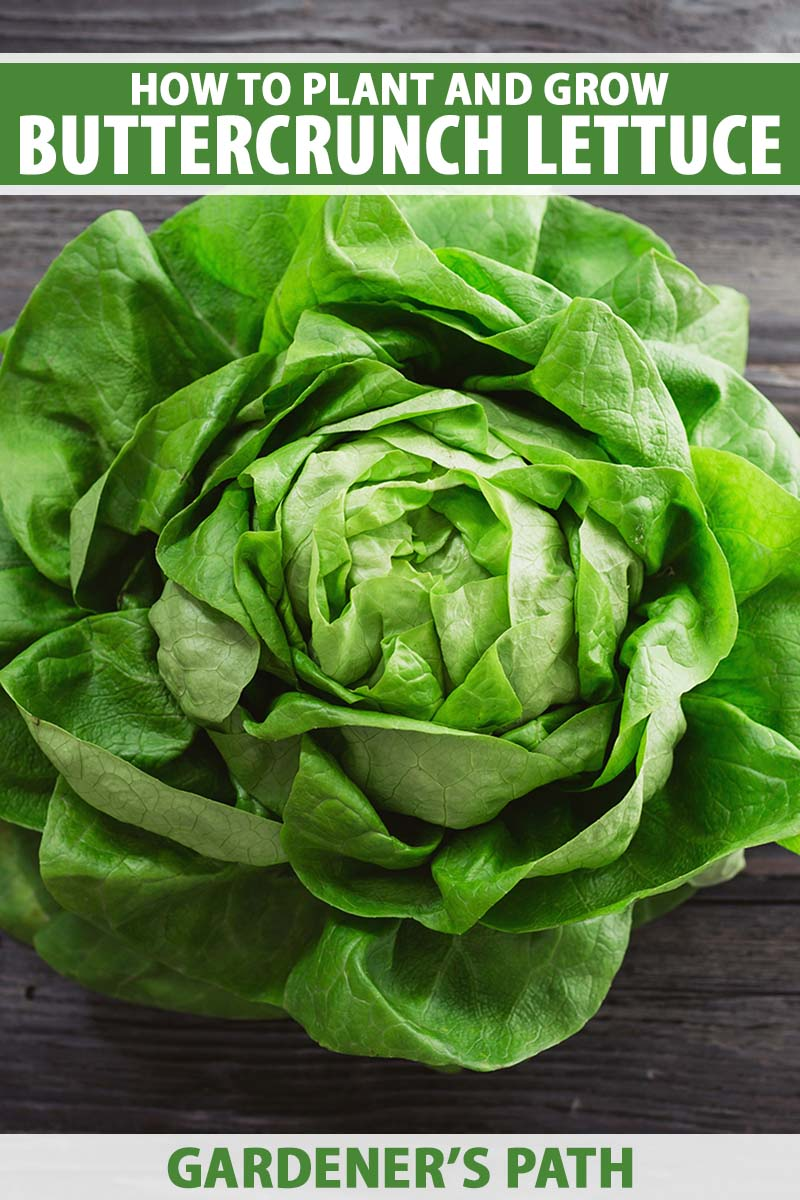 A close up vertical image of a freshly harvested 'Buttercrunch' lettuce set on a dark wooden surface. To the top and bottom of the frame is green and white printed text.