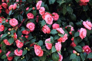 How to Grow Camellias in Containers
