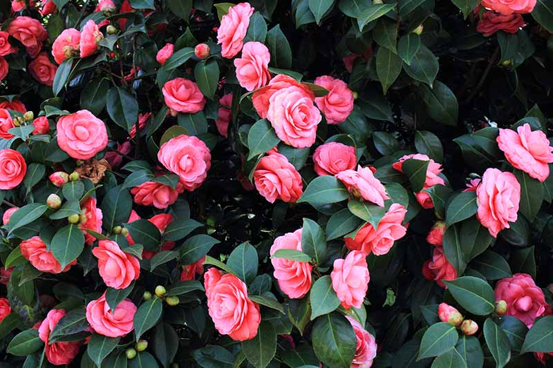A close up horizontal image of a camellia plant with an abundance of pink blooms.