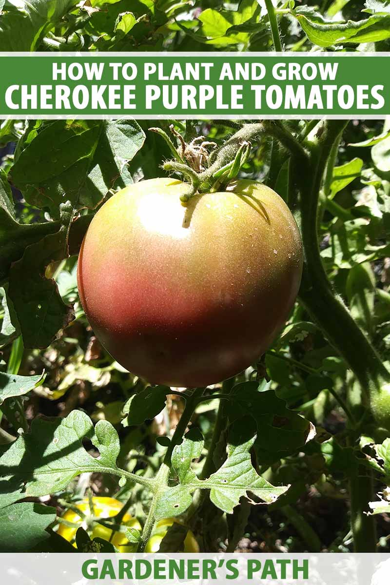 A close up vertical image of a 'Cherokee Purple' tomato ripe and ready for harvest growing on the vine pictured on a soft focus background. To the top and bottom of the frame is green and white printed text.