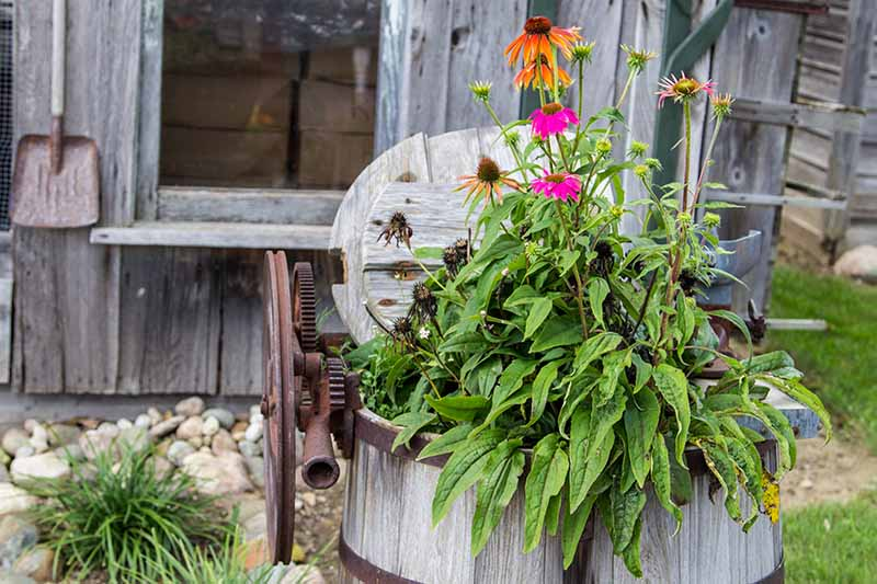 A close up horizontal image of coneflowers growing in a rustic wooden container in the garden.