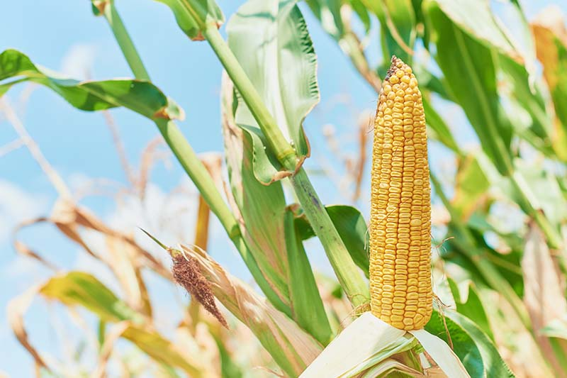 A close up horizontal image of dent corn growing in a field pictured on a blue sky background.