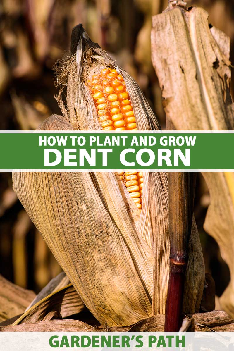 A close up vertical image of an ear of dent corn with dried husk and silks pictured in light sunshine pictured on a soft focus background. To the center and bottom of the frame is green and white printed text.