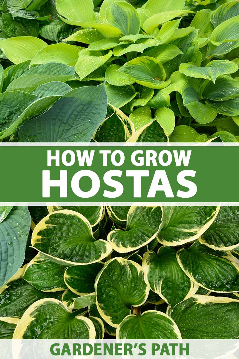 A close up vertical image of different varieties of hosta growing in a shady spot in the garden. To the center and bottom of the frame is green and white printed text.