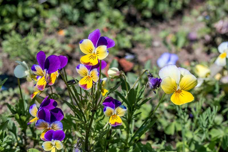 A close up horizontal image of Johnny-jump-up (Viola tricolor) flowers growing in the garden pictured on a soft focus background.