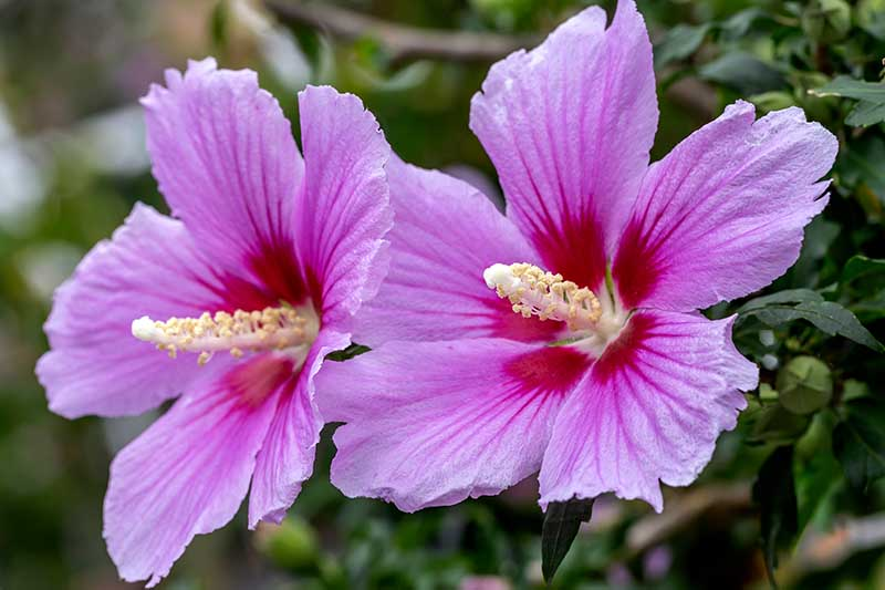 A close up horizontal image of two pink and red rose of Sharon (Hibiscus syriacus) flowers growing in the garden pictured on a soft focus background.