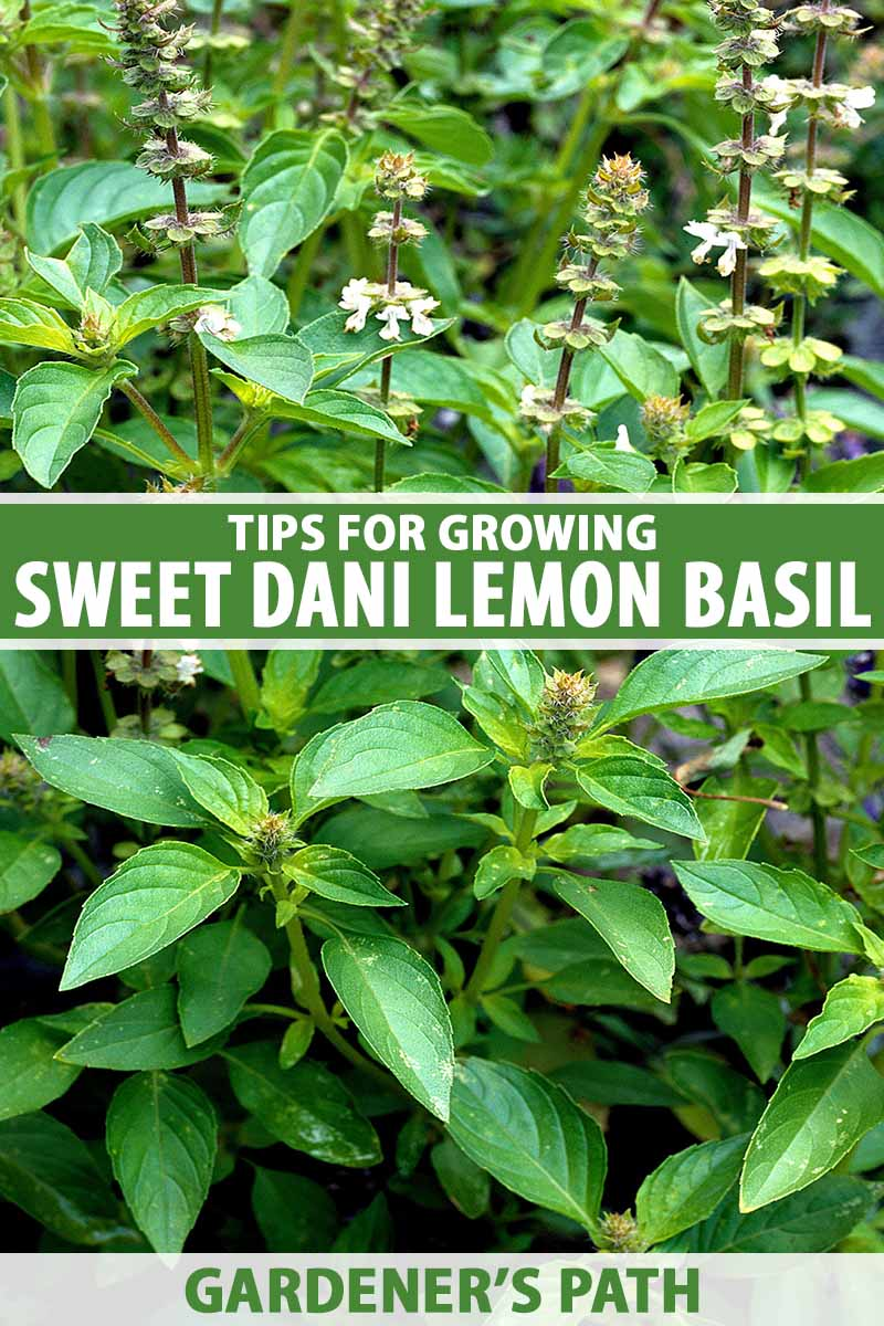 A close up vertical image of 'Sweet Dani' lemon basil growing in the garden. To the center and bottom of the frame is green and white printed text.