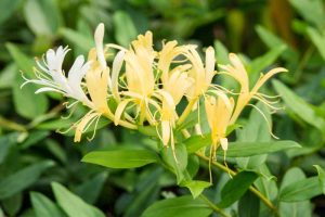 How to Grow and Care for Japanese Honeysuckle