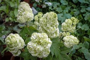 How to Grow and Care for Oakleaf Hydrangea