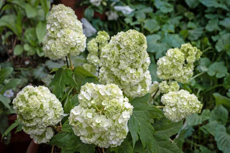 A close up horizontal image of Hydrangea quercifolia growing in the garden with white flowers and green foliage pictured on a soft focus background.
