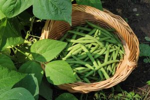 Harvesting Snap Beans: When and How to Pick Them