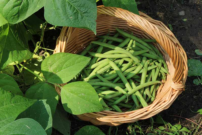 A close up horizontal image of a wicker basket filled with freshly harvested green beans in a wicker basket set on the ground in the garden.
