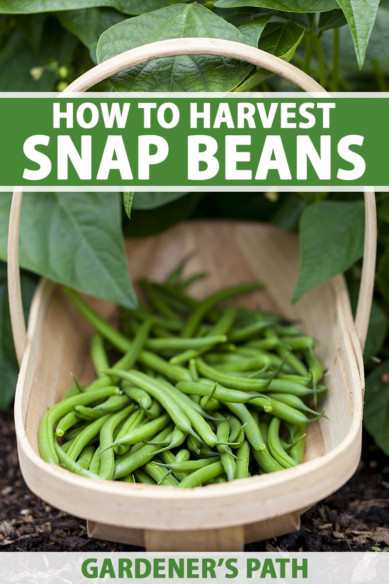A close up vertical image of a wooden garden trug filled with freshly harvested green beans set on the ground in front of a plant. To the top and bottom of the frame is green and white printed text.