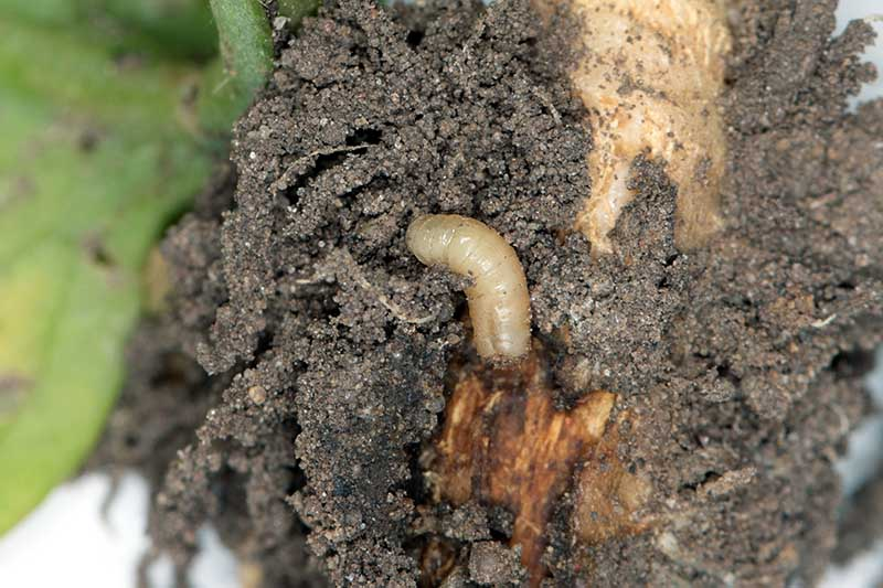 A close up horizontal image of a root maggot in the soil.