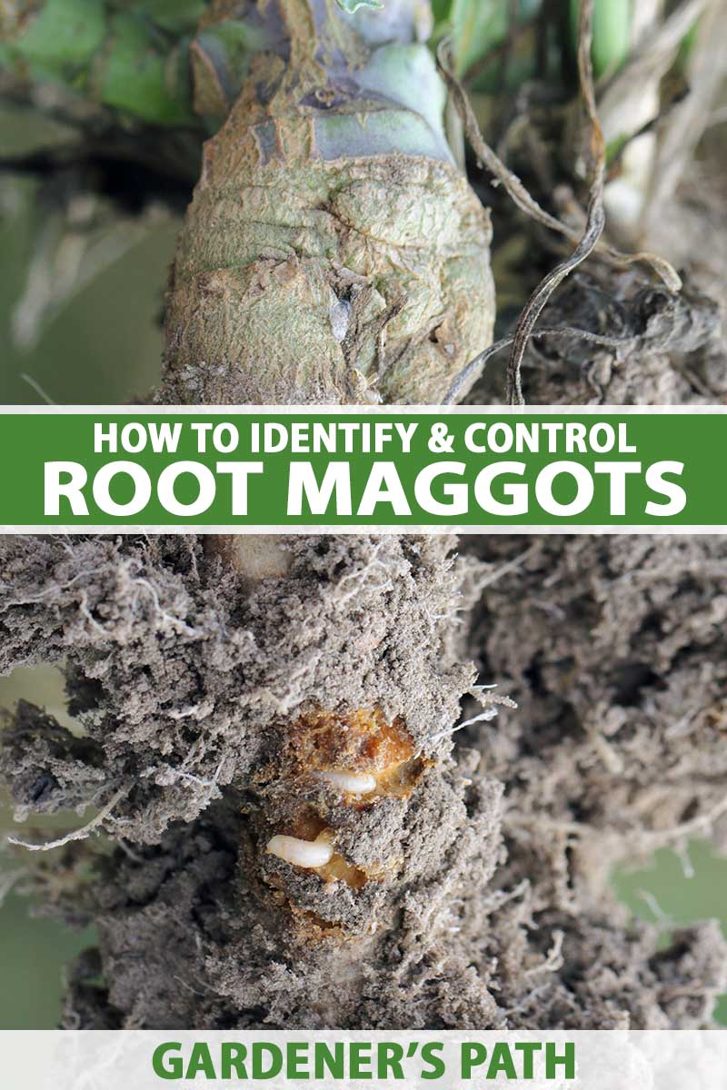 A close up vertical image of a root of a plant dug up to show an infestation by maggots. To the center and bottom of the frame is green and white printed text.