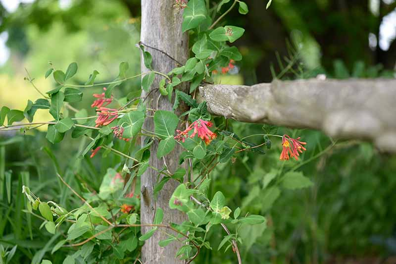 A close up horizontal image of red honeysuckle flowers growing on the vine on a wooden fence.