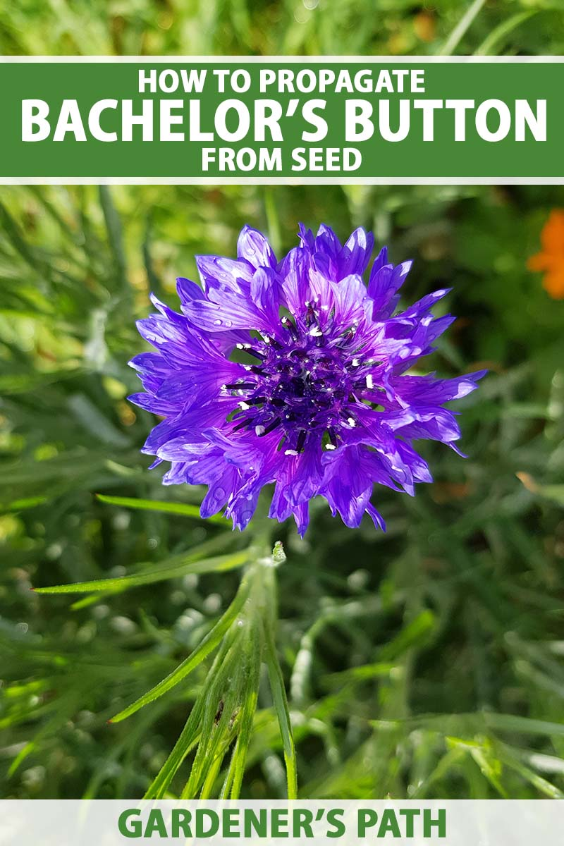 A close up vertical image of a purple cornflower growing in the garden pictured in light filtered sunshine on a soft focus background. To the top and bottom of the frame is green and white printed text.