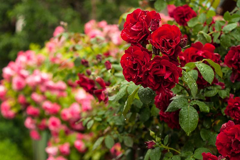 A close up horizontal image of red roses growing in the garden covered in droplets of rain water, with pink flowers in soft focus in the background.