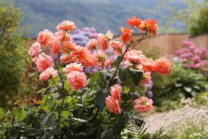 How to Transplant Rose Bushes