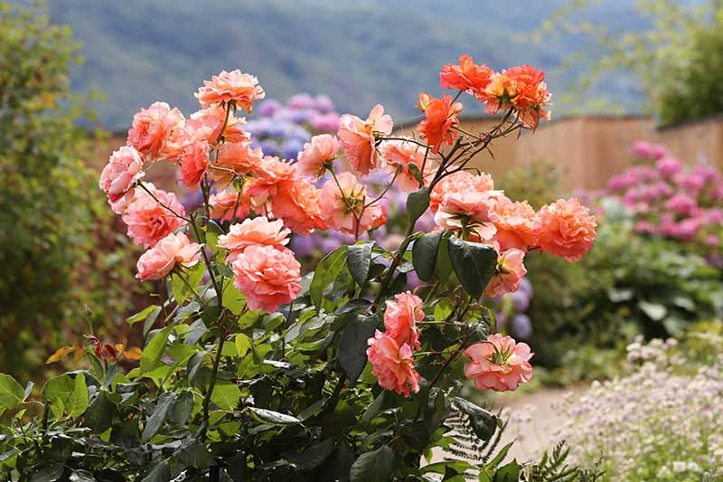 A close up horizontal image of a rose shrub growing in a garden border covered in orange flowers, with a garden scene in soft focus in the background.