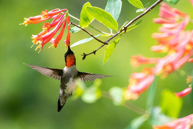 A close up horizontal image of a red-throated hummingbird feeding from a coral honeysuckle flower pictured on a soft focus background.