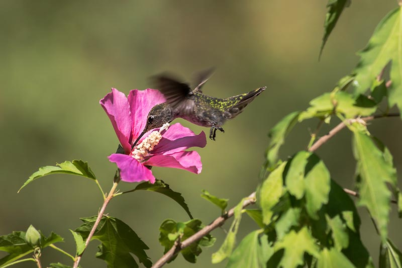 A close up horizontal image of a flying hummingbird feeding on nectar from a rose of Sharon flower pictured in light sunshine on a soft focus background.