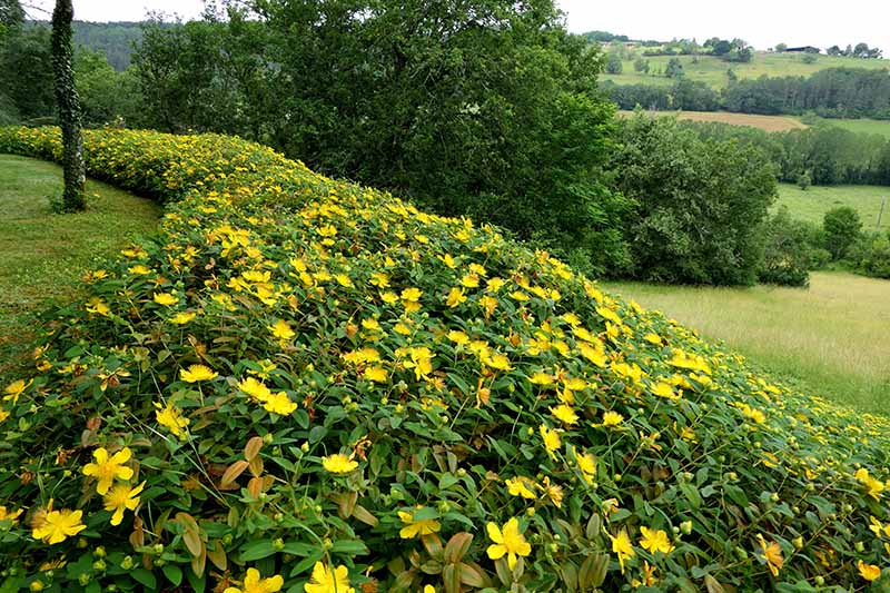 A horizontal image of Hypericum calycinum with yellow flowers growing in the landscape.