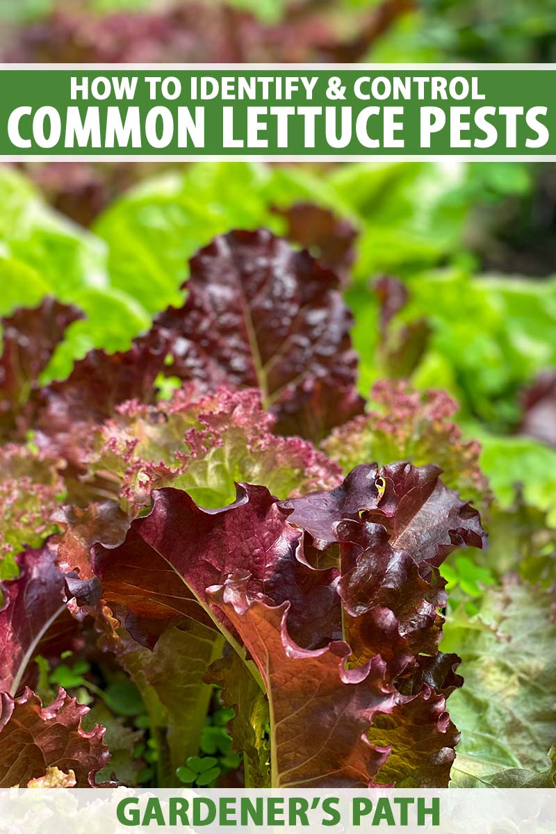 A close up vertical image of red and green lettuce leaves growing in the garden pictured on a soft focus background.