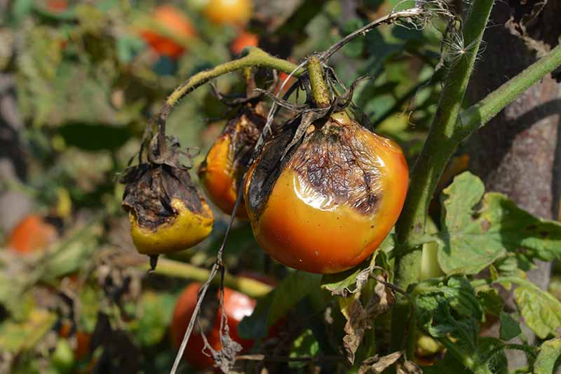A close up horizontal image of a tomato plant suffering from a bad case of late blight caused by Phytophthora infestans, a nefarious water mold.