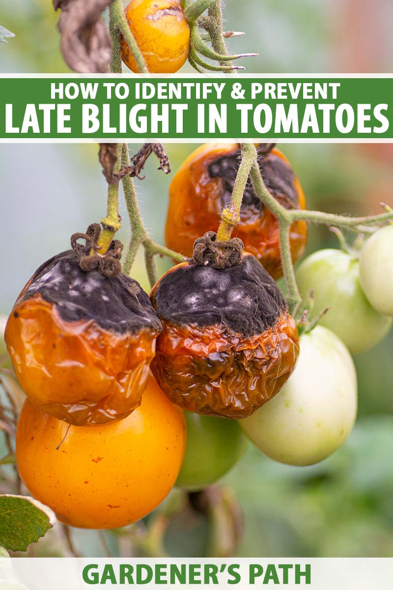 A close up vertical image of tomatoes growing in the garden suffering from a bad case of late blight caused by Phytophthora infestans pictured on a soft focus background.