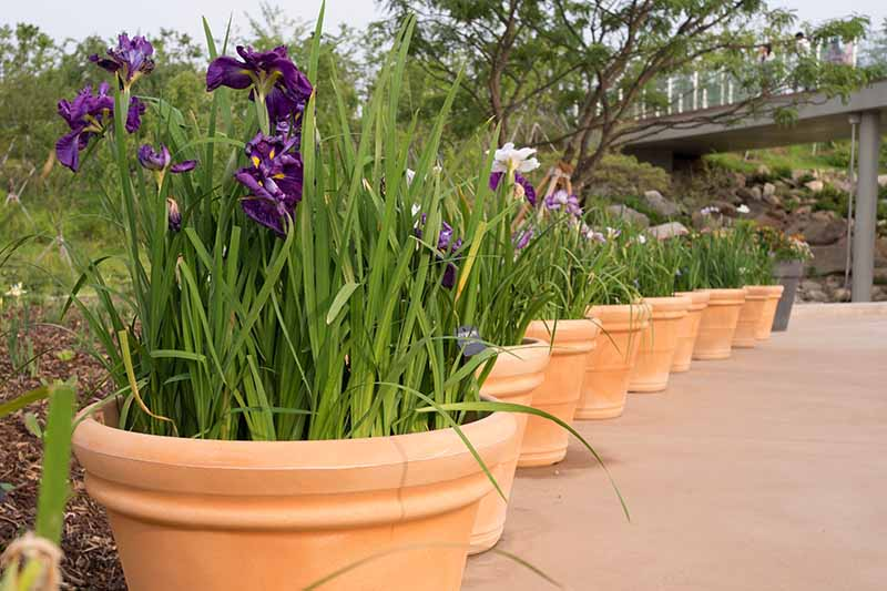 A close up horizontal image of a line of terra cotta pots planted with iris flowers in a botanical garden.