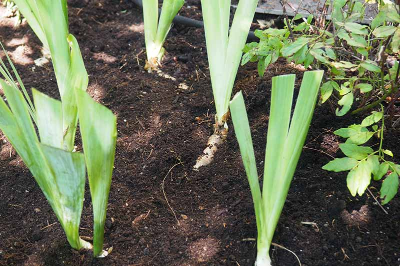 A close up horizontal image of iris divisions planted in rich soil in the garden.