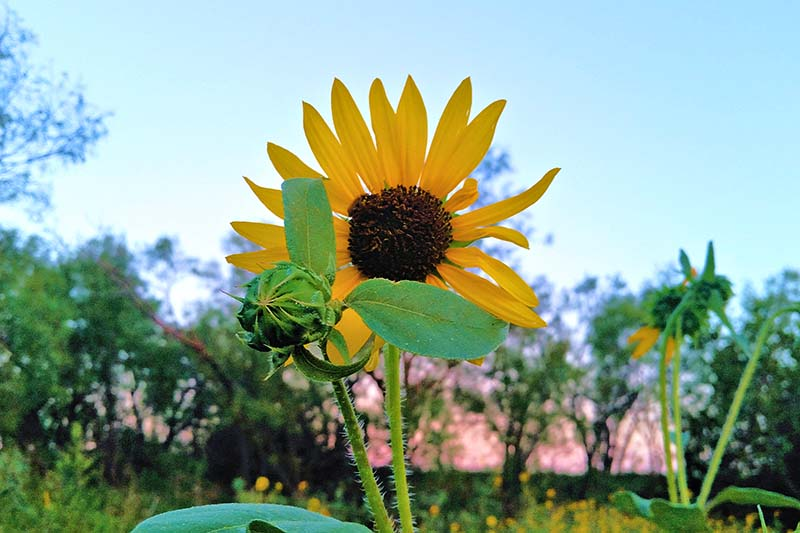 A close up horizontal image of a small wild sunflower growing in the garden with trees and blue sky in the background