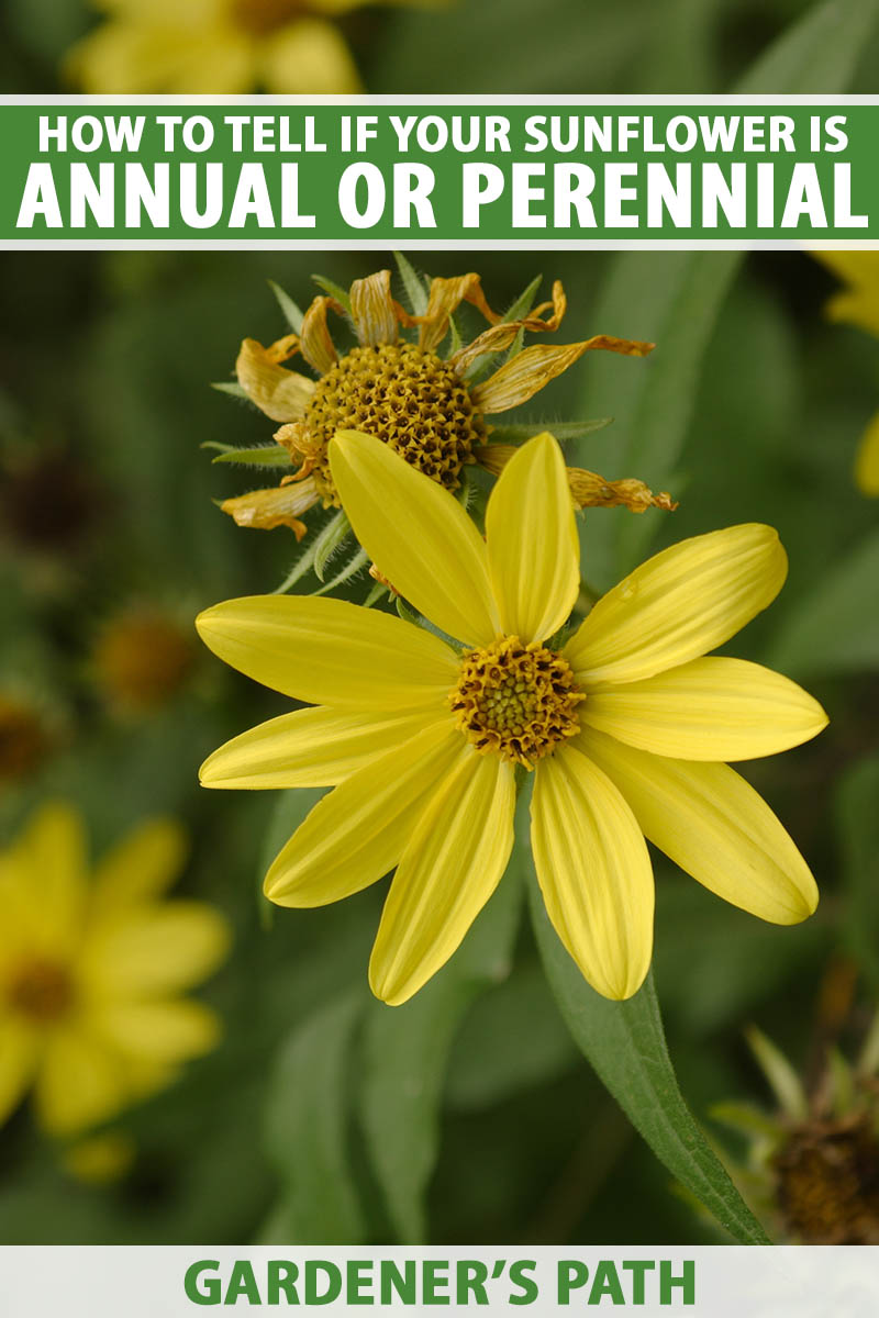 A close up vertical image of a wild sunflower growing in the garden pictured on a soft focus background. To the top and bottom of the frame is green and white printed text.