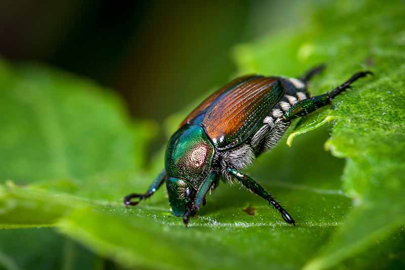 A close up horizontal image of a Japanese beetle munching away on a green leaf pictured on a soft focus background.