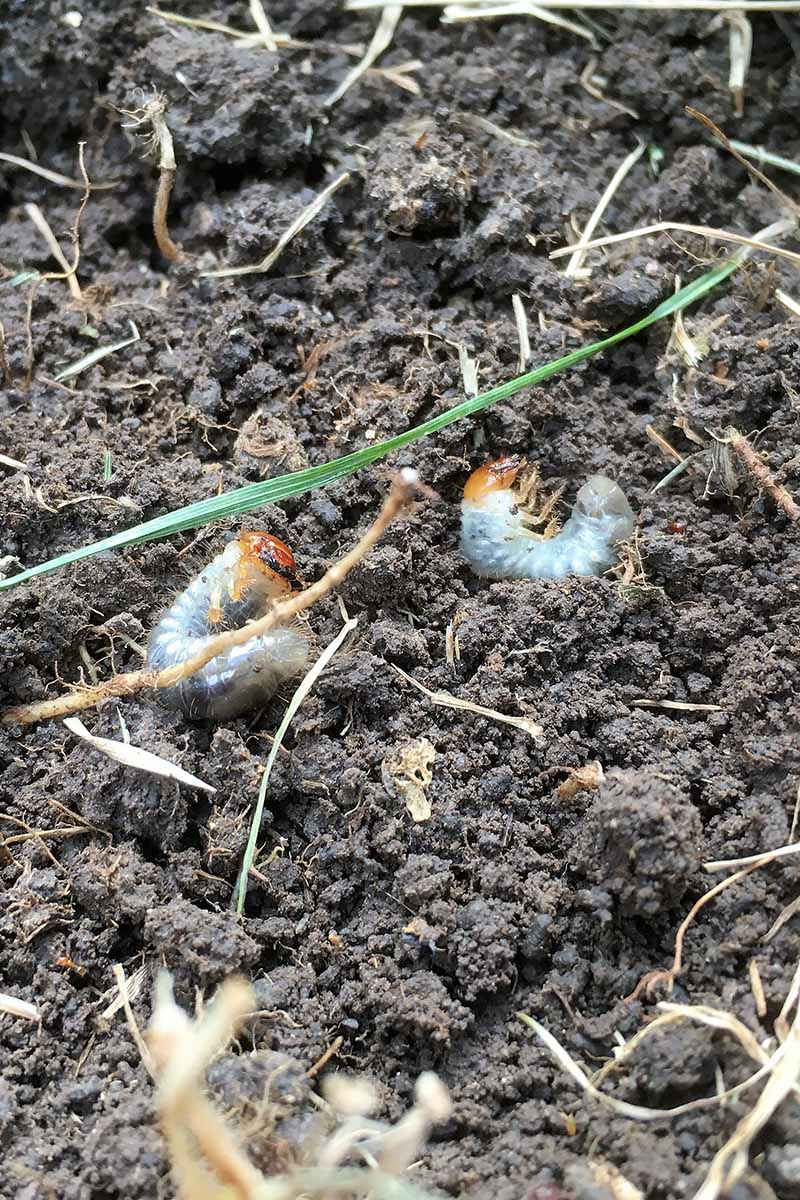 A close up vertical image of the revolting looking larvae of Japanese beetles on the surface of the soil.
