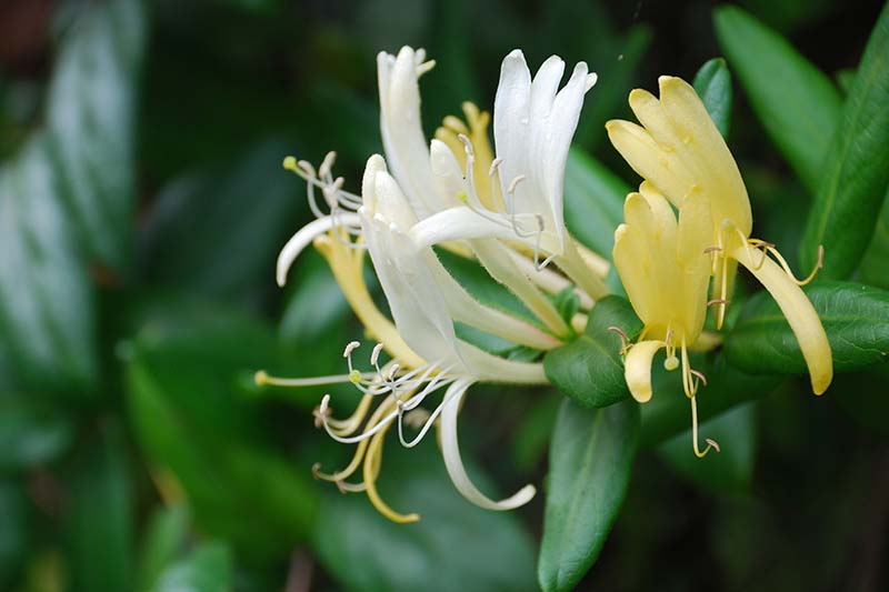 A close up horizontal image of a Lonicera japonica flower pictured on a soft focus background.