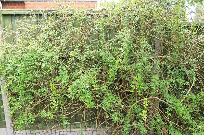 A close up horizontal image of Lonicera japonica growing on a wooden garden fence.