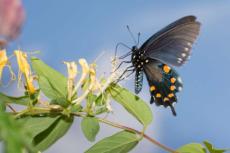 A close up horizontal image of a butterfly feeding on Lonicera japonica flowers pictured on a blue sky background.