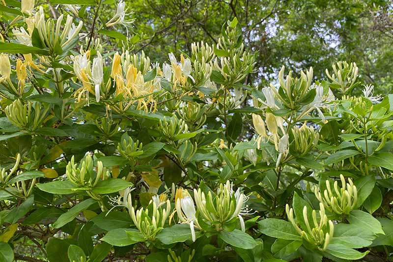 A close up horizontal image of the flowers and foliage of Japanese honeysuckle (Lonicera japonica) growing in the garden.