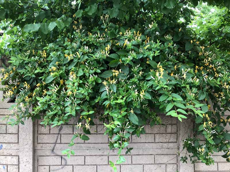 A close up horizontal image of Japanese honeysuckle (Lonicera japonica) growing on a brick garden wall.