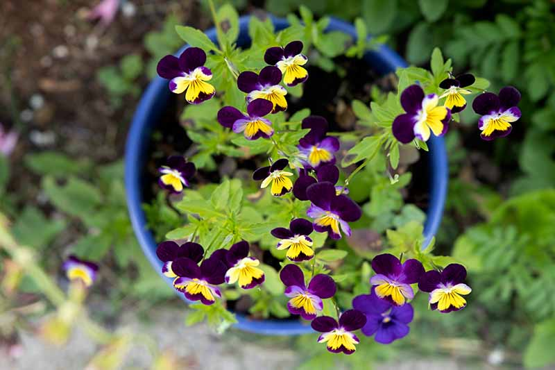 A close up horizontal image of small Johnny-jump-up flowers growing in a blue pot.