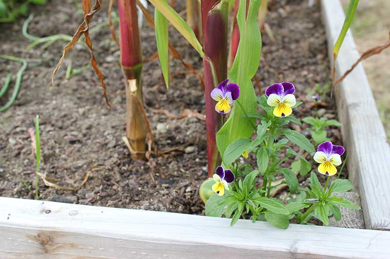 A close up horizontal image of Viola tricolor flowers growing in a raised bed vegetable garden.