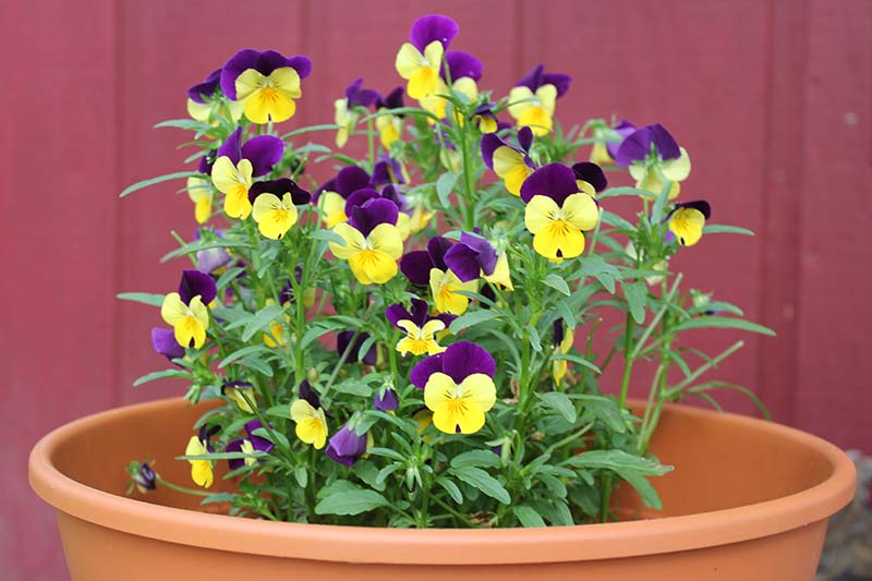 A close up horizontal image of Viola tricolor flowers growing in a plastic pot outside a red house.
