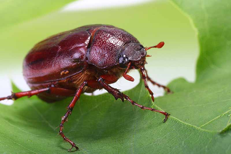 A close up horizontal image of a June bug chomping on a leaf pictured on a soft focus background.
