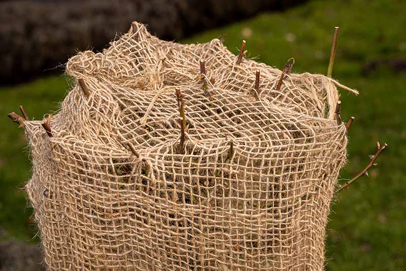 A close up horizontal image of a pruned rose shrub wrapped in a jute sack for frost protection pictured on a soft focus background.