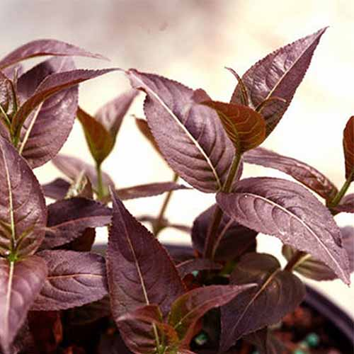 A close up square image of the dark red foliage of 'Kodiak Black Bush' honeysuckle growing in a small pot.