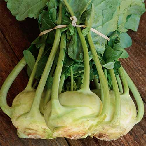 A close up square image of three 'Korist' kohlrabi set on a wooden surface.